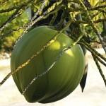 ココナッツオイルの効能に副作用は?太るの?注意点があります!