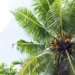 ココナッツオイルの効能は?NHK「あさいち」の反響が凄まじい!